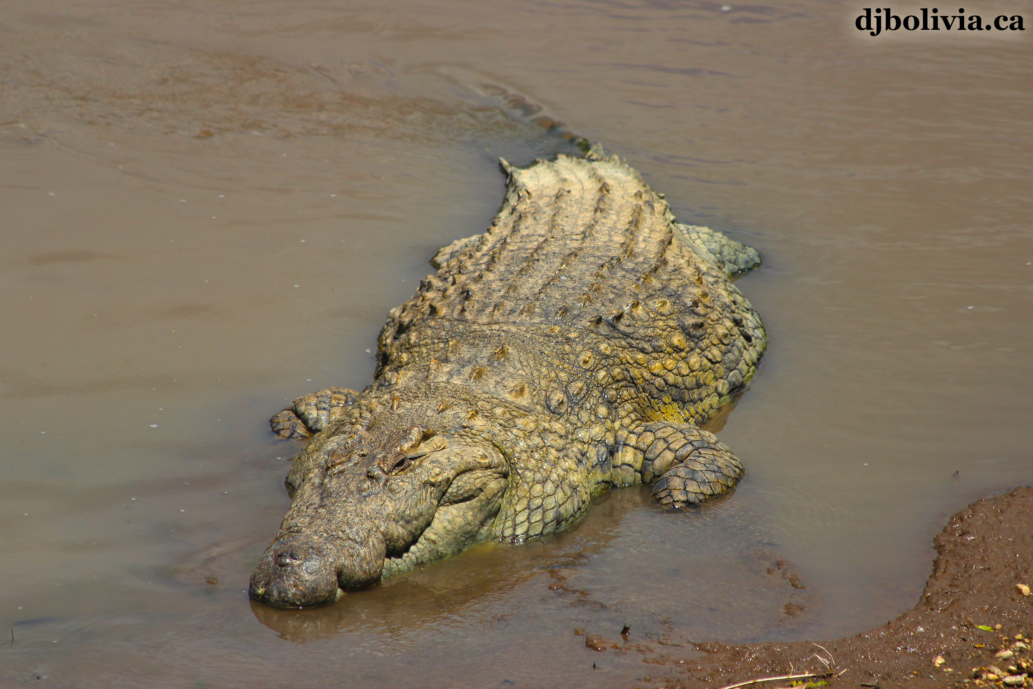 Crocodile Bird Mix A nile crocodile.